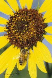 Honey Bee on sunflower, s. Texas, spring