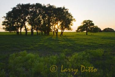 Liveoaks_at_Sunset_Larry_Ditto_X0Z0130_(1)