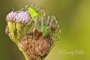 Lynx_Spider_Larry_Ditto_MG_1325