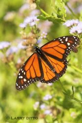 Monarch-Butterfly_Larry_Ditto
