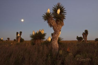 Full moon and blooming yucca