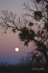 Full moon, mesquite and mistletoe, north Texas at sunset before Christmas eve.