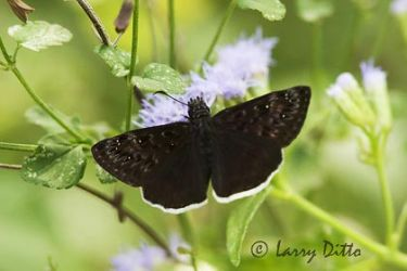 Mournful Duskywing (Erynnis tristis) on mistflower, s. Texas