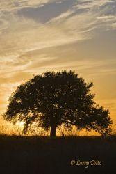 Live Oak (Quercus virginiana), Texas hill country