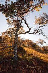 Oak_in_Autumn_Larry_Ditto_70K6394