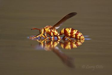 Paper_Wasp_Larry_Ditto_MG_0790