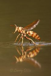 Paper Wasp take off from pond, s. Texas