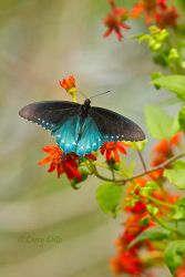 Pipevine Swallowtail on Mexican Flame flowers, South Padre Island, Texas
