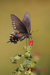 Pipevine Swallowtail on Turk's Cap, south Texas