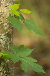 Poison_Ivy_Larry_Ditto_MG_7227