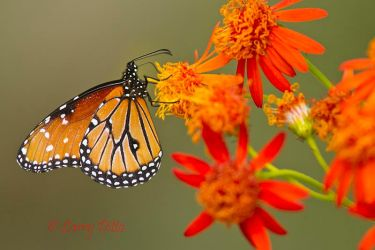 Queen butterfly nectaring on Mexican Flame flowers.