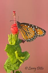 Queen (Danaus gilippus) on Turk's Cap flower, s. Texas
