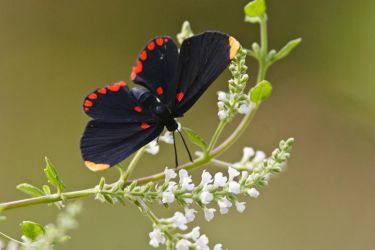 Red-bordered_Pixie_Larry_Ditto_MG_0383