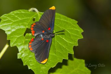 Red-bordered Pixie butterfly on leaf, s. Texas