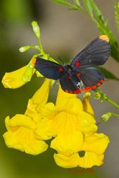 Red-bordered Pixie on _____ flower at Quinta Mazatlan WBC, McAllen, Texas