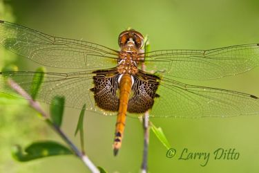 Red_Saddlebags_Larry_Ditto_MG_1692