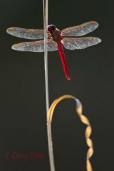 Roseate_Skimmer_Larry_Ditto_MG_5136