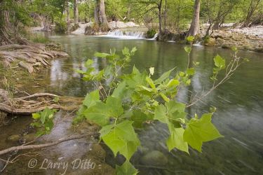 Sabinal_River,_Texas_Larry_Ditto_X0Z2812