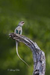 Spiny Crevice Lizard