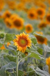 Sunflowers_Larry_Ditto_MG_2986