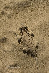 Texas_Horned_Lizard_Larry_Ditto_MG_8589