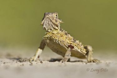 Texas_Horned_Lizard_Larry_Ditto_MG_8721