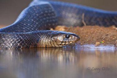 Indigo Snake drinking at s. Texas ranch pond, spring