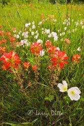 Texas Paintbrush in bloom near Gainsville, Texas