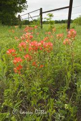 Texas Paintbrush near Gainsville, Texas, May