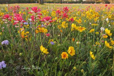 Texas_Paintbrush_Larry_Ditto_70K8561