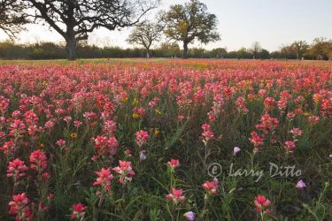 Texas Paintbrush blooming in the Berclaire Cemetery near Goliad, Texas.