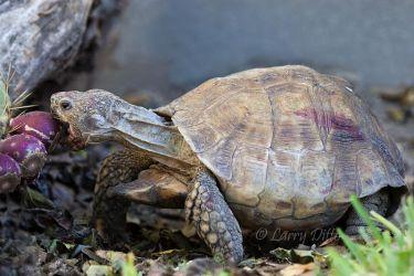 Texas_Tortoise_70K9249