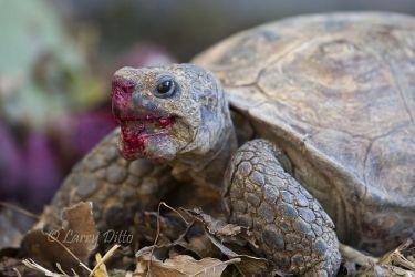 Texas_Tortoise_70K9416