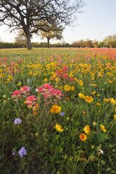 Wildflowers in Berclaire Cemetery, Texas, March