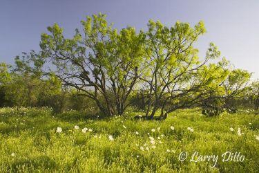 Texas_Wildflowers_Larry_Ditto_X0Z0085_(1)