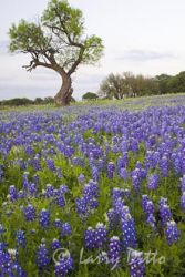 Bluebonnets and a mesquite tree in the Texas hill country, spring