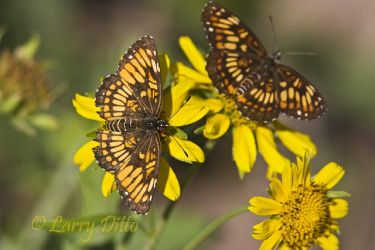 Theona_Checkerspot_Larry_Ditto_MG_1800