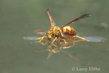 Wasp-on-Water_Larry_Ditto
