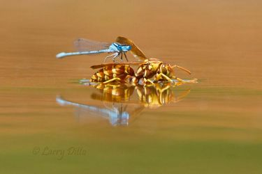 Wasp___Damsel_Fly_Larry_Ditto_MG_4468