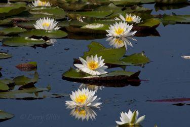 Water Lilies on Caddo Lake, Texas