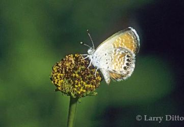 Western-Pygmy-Blue2_Larry_Ditto