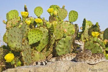 Rattlesnake_70K4378.jpg