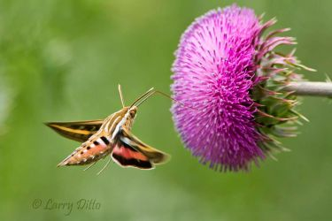 white-lined sphinx moth at thistle flower