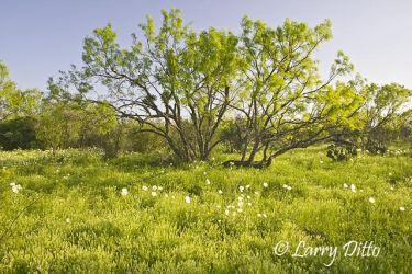 Wildflowers,_Texas_Larry_Ditto_X0Z0082_(1)