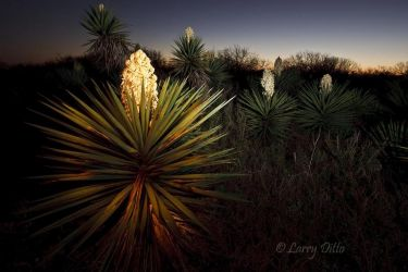 Yucca_Painting_Larry_Ditto_70K6563
