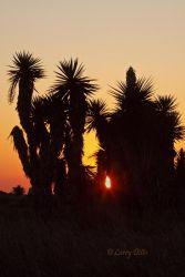 Yuccas silhouetted at sunset near the Rio Grande, south Texas