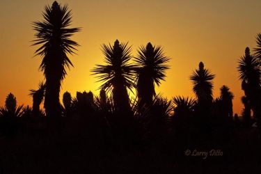Yucca_Silhouettes_Larry_Ditto_MG_0592