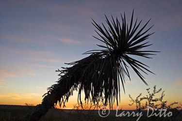 Yucca (Yucca sp.) at sunrise, west edge of Texas hill country