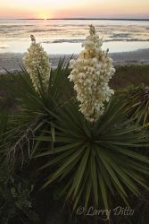 Yucca_at_Sunset_Larry_Ditto_70K0267