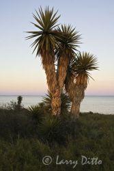 Yucca_x0z5497